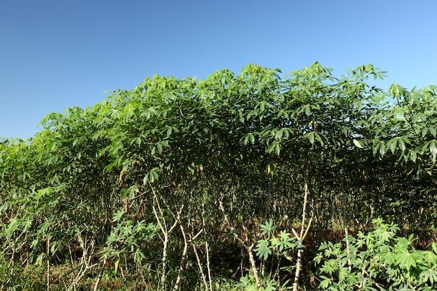 Pole manioku, tapioki lub yuca