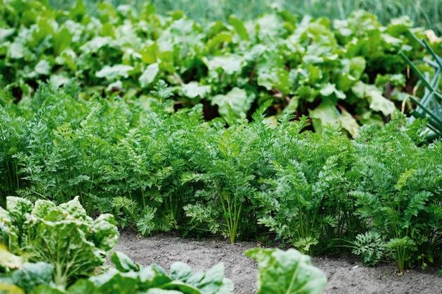 Pole marchwi. zbieranie marchewek w ogrodzie. jesienne zbiory warzyw