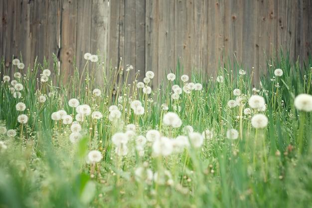 Pole mleczy. zadziwiający pole z białymi dandelions przy zmierzchem.