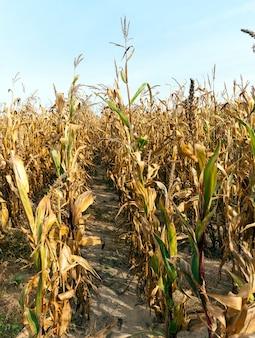 Pole, na którym rośnie gotowa do zbioru dojrzała żółta kukurydza w kolbach, sezon jesienny
