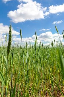 Pole, na którym rośnie zielona pszenica lub żyto, wysoki plon ziarna
