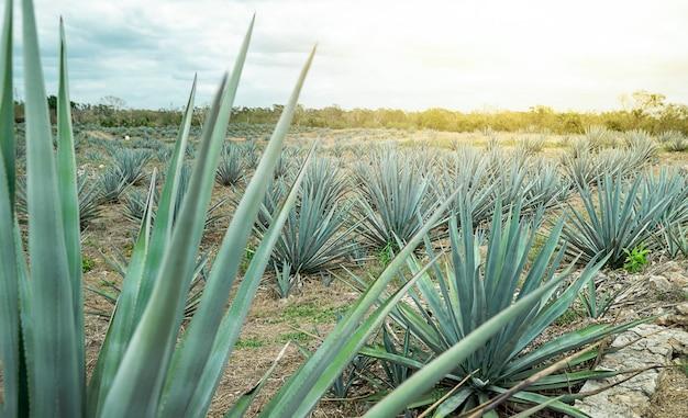 Pole niebieskiej agawy w meksyku. zdjęcie wysokiej jakości