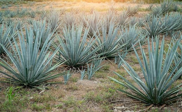 Pole niebieskiej agawy w meksyku