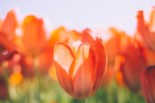 Pole ognistych pomarańczowych tulipanów w promieniach jasnego letniego światła dziennego