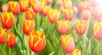 Pole pełne czerwonych i pomarańczowych tulipanów w rozkwicie