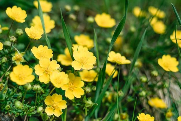 Pole Pełne żółte Niewyraźne Kwiaty Premium Zdjęcia
