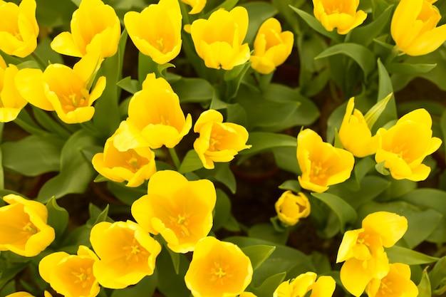 Pole piękne żółte tulipany