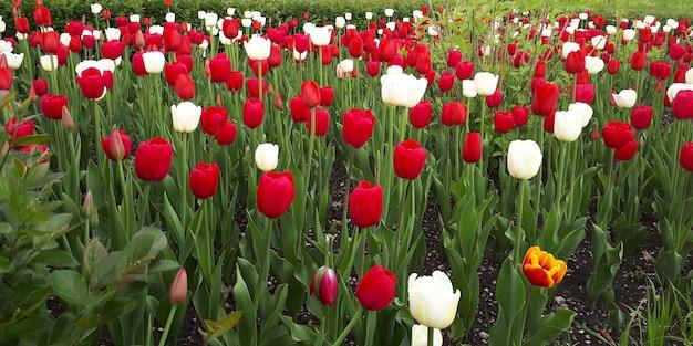 Pole pięknych czerwonobiałych tulipanów latem w słoneczne popołudnie