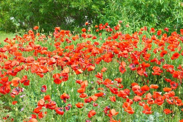 Pole pięknych czerwonych maków z zieloną trawą