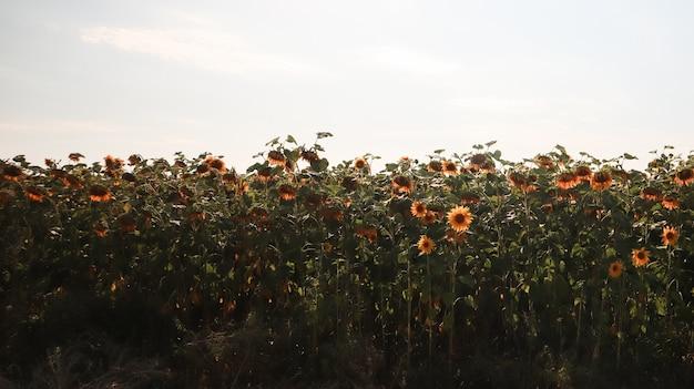 Pole pięknych i jasnych słoneczników, nieba i chmur w tle. zdjęcie koncepcji ekologii. przemysł rolniczy. piękny krajobraz.