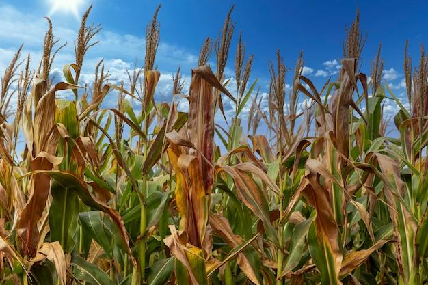 Pole plantacji kukurydzy, pokarm dla zwierząt i ludzi.