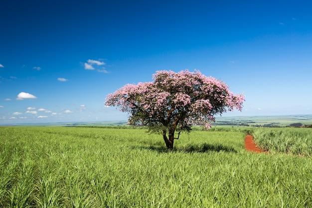 Pole plantacji trzciny cukrowej w słoneczny dzień. rolnictwo.