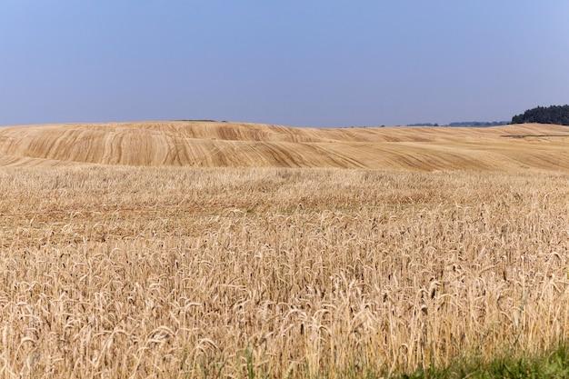 Pole po zbiorach - pole uprawne z fazowaną pszenicą po zbiorze upraw zbóż, mała głębia ostrości