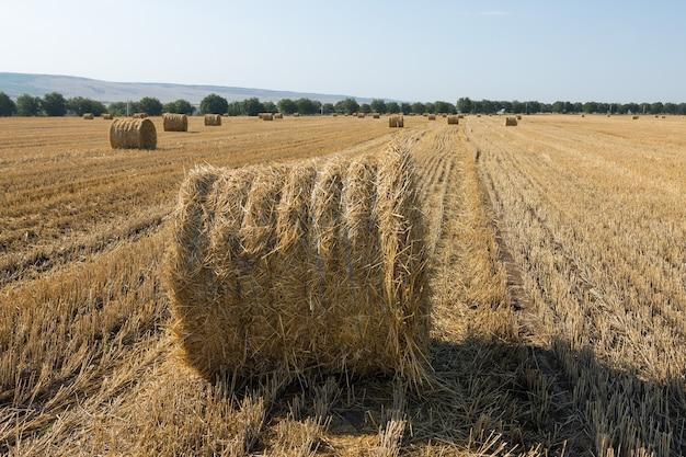 Pole po żniwach rano. duże bele siana w polu pszenicy.