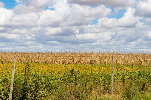 Pole pokryte soją i kukurydzą gotowe do zbioru