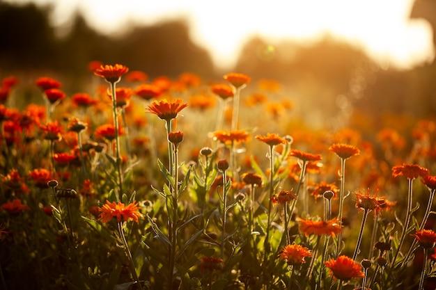 Pole pomarańczowe kwiaty na niewyraźnym naturalnym tle