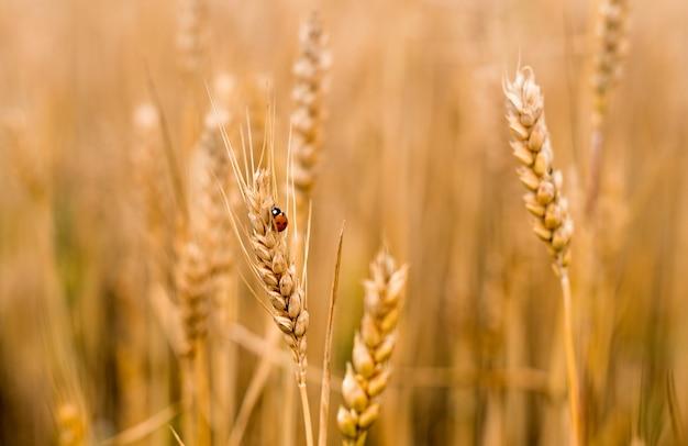 Pole pszenicy . biedronka na złote kłoski zbliżenie pszenicy. koncepcja zbioru.