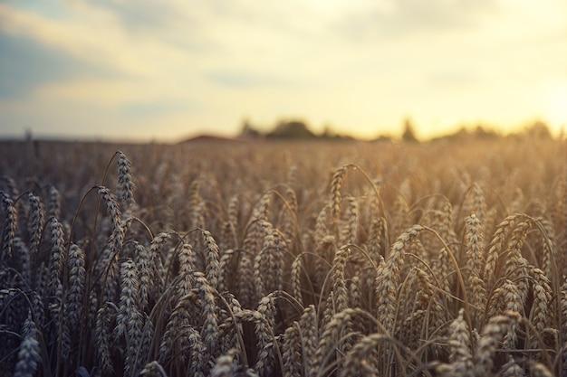 Pole pszenicy brunatnej w ciągu dnia