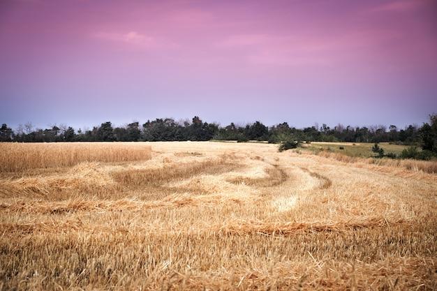 Pole pszenicy golden z fioletowym słońcem słońca na obszarze wiejskim łąki.