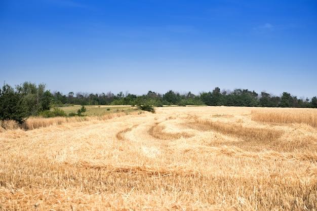 Pole pszenicy golden z jasnym błękitnym niebem na obszarze wiejskim łąki.