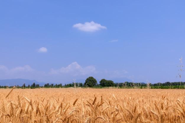Pole pszenicy gotowe do zbioru (rozmycie, selektywna fokus) na północ od włoch