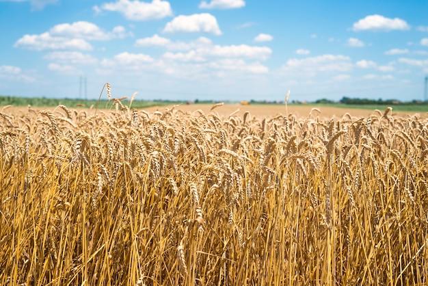 Pole pszenicy gotowe do zbioru