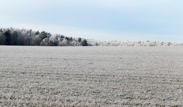 Pole pszenicy i las w białym mrozie podczas zimowego chłodzenia i nocnych przymrozków, krajobraz