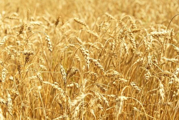Pole pszenicy. kłosy pszenicy złotej z bliska. piękna przyroda krajobraz zachód słońca. wiejska sceneria pod lśniącym światłem słonecznym. tło dojrzewania kłosów pola pszenicy łąka. koncepcja bogatych zbiorów.