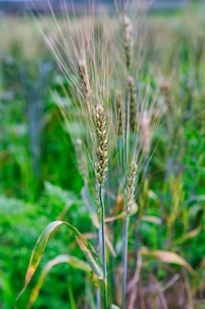Pole pszenicy. kłosy pszenicy złotej zbliżenie. koncepcja zbiorów