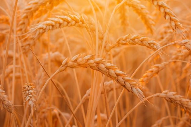 Pole pszenicy kłosy złotej pszenicy piękna przyroda zachód słońca krajobraz