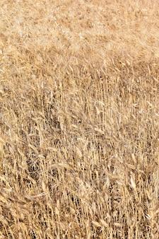 Pole pszenicy na francuskiej wsi w lecie