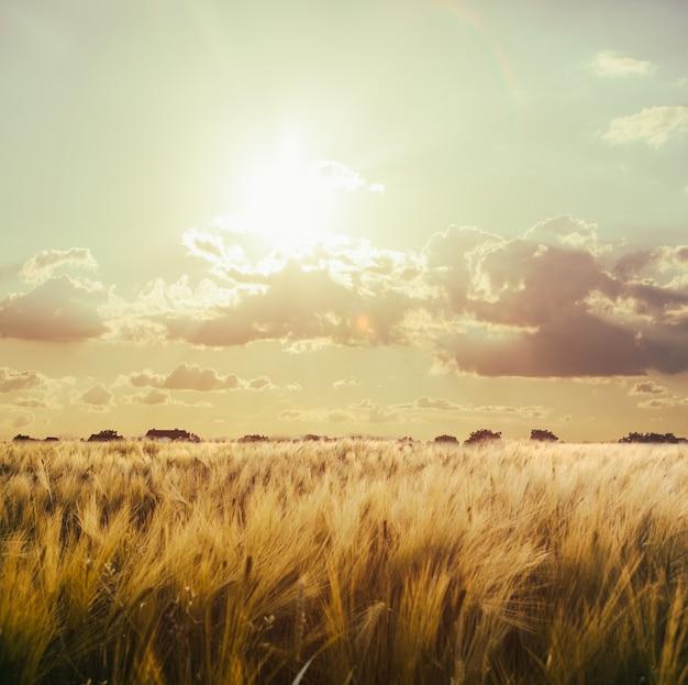 Pole pszenicy na niebie z zachodem słońca. krajobraz przyrody. stonowany w stylu vintage