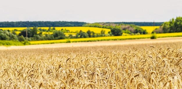 Pole pszenicy na tle pola ze słonecznikami. kłosy pszenicy złotej z bliska.