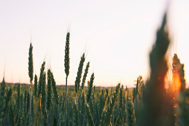 Pole pszenicy na zachód słońca