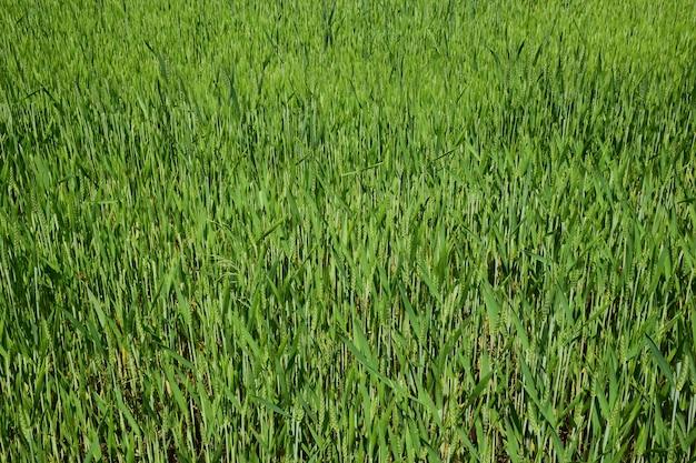 Pole pszenicy niedojrzałych zielonych kłosów pszenicy w kolorze zielonym na całej ramie
