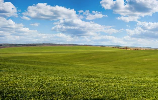 Pole pszenicy ozimej lub żyta wczesną wiosną z pięknym niebem
