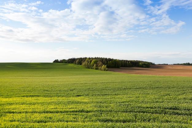 Pole pszenicy - pole uprawne, na którym rośnie niedojrzała pszenica zielona, mała głębia ostrości