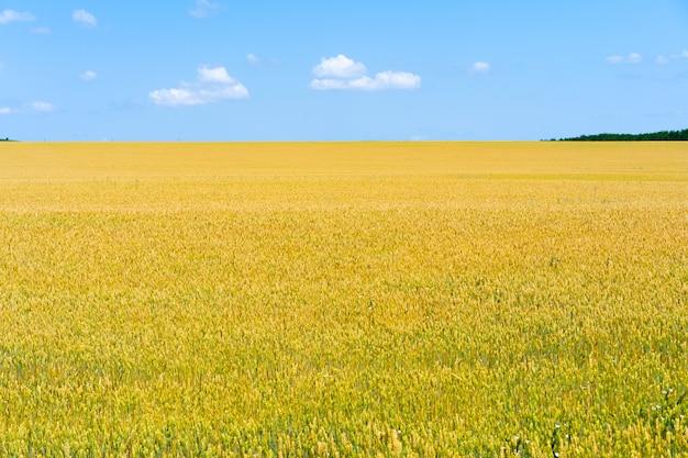 Pole pszenicy przechodzi przez horyzont
