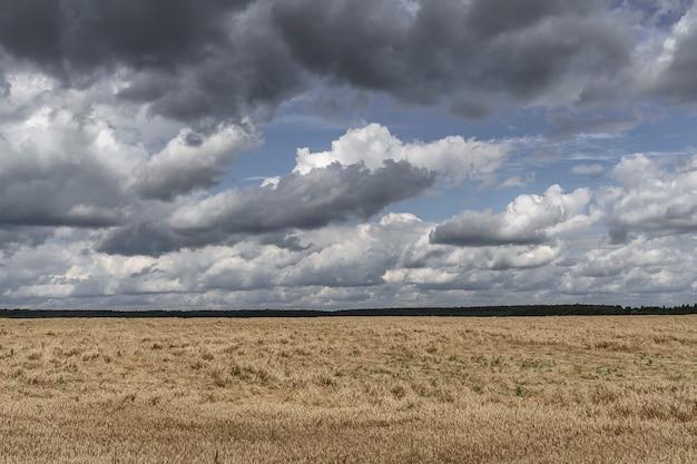 Pole pszenicy przed deszczem. ciemne niebo z chmurami