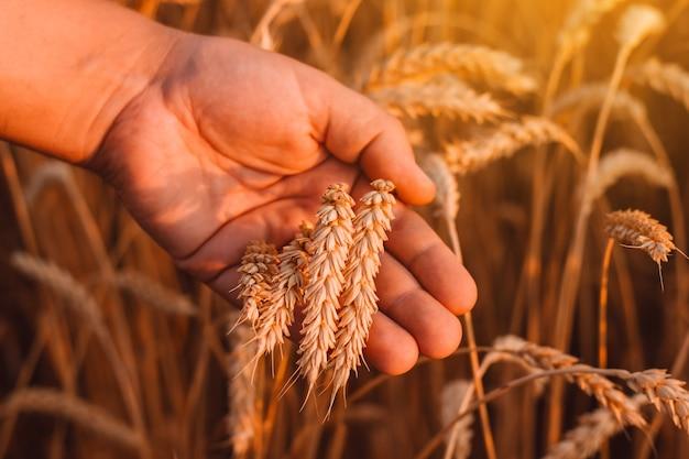 Pole pszenicy ręce trzymają kłosy złotej pszenicy z selekcji zimowej
