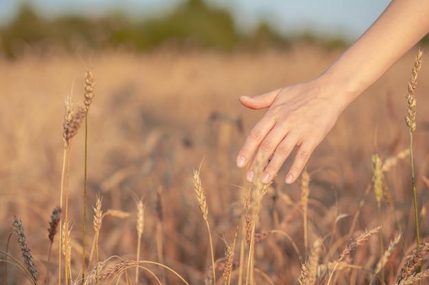 Pole pszenicy. ręce trzymające kłosy pszenicy złotej z bliska. piękna przyroda krajobraz zachód słońca. wiejska sceneria pod lśniącym światłem słonecznym. tło dojrzewania kłosów pola pszenicy. koncepcja bogatych zbiorów