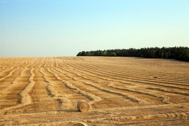 Pole pszenicy sfotografowane pole, które zbiera zbiory pszenicy błękitne niebo stogi siana słomy