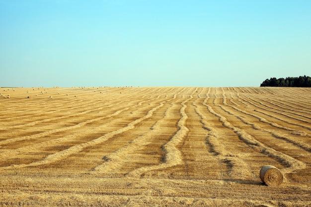 Pole pszenicy - sfotografowane pole, na którym zbierane są plony pszenicy, błękitne niebo, słomiane stogi siana