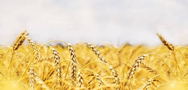Pole pszenicy. uszy złotej pszenicy z bliska. piękna przyroda zachód krajobraz.