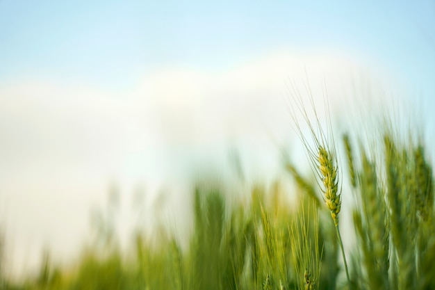 Pole pszenicy w indiach