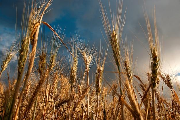 Pole pszenicy w pochmurny dzień latem