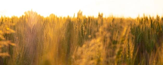Pole pszenicy w promieniach porannego słońca, kłosy w pomarańczowym ciepłym świetle świtu.