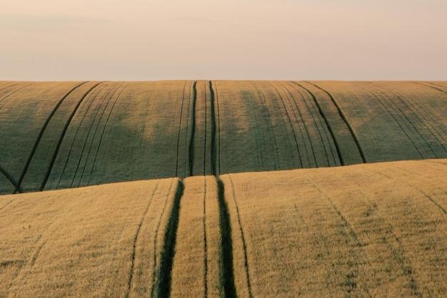 Pole pszenicy wczesnym latem, zielona łyżka pszenicy z bliska