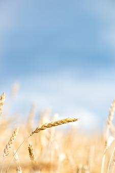 Pole pszenicy z błękitne niebo i białe chmury