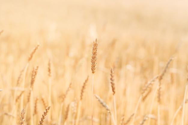 Pole pszenicy z bliska